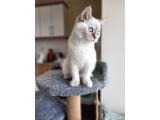 4 aylık dişi lynx point Yavru yeni ailesini arıyor