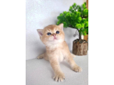 GoldenPatiHome Cattery