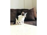 Yavru erkek kedi