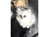 British longhair Kendi kedimizin yavruları