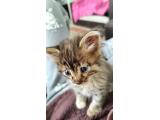 Oyuncu ve insan canlısı 1.5 aylık dişi yavru kedi yuvasını arıyor