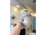3 aylık pomeranian poo