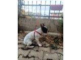 İzmir içi 6 Aylık Dişi French Bulldog