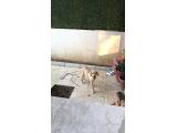 Golden Retiever 3 aylık Erkek