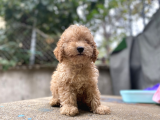 Süppper toy poodle