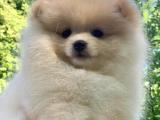 Pomeranian Boo 45 günlük