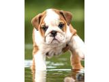 İngiliz Bulldog Yavrularımız