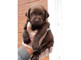 Mukemmel kalitede Çikolata Labrador Retriever Yavrulari