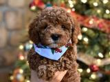 Safkan Red Brown Toy Poodle Yavrularimiz