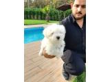 0 numara Maltese Terrier Yavrulari