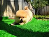 AA Kalite Safkan  Pomeranian Kızımız