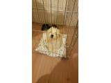 Maltese terier
