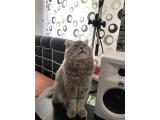7 aylık İskoç kedisi oğluma eş arıyorum