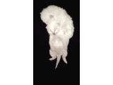 Kar Beyazı British Shorthair Yavrular