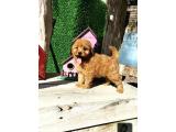 Irk Ve Sağlık Garantili Red Toy Poodle Yavrulari