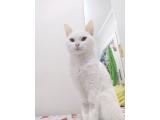 Yetişkin dişi kedi