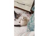 Safkan kedilerimiz yuva arıyor