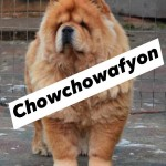 CHOW CHOW AFYON / VİPDOGHOUSE